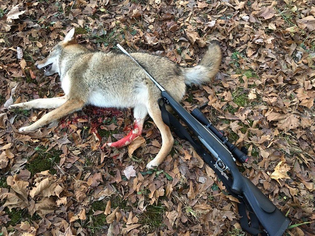 Coyote 11-11-17(2).jpg