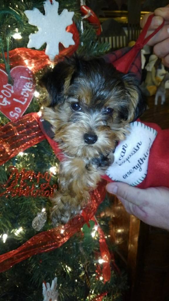 Yorkie Puppies For Sale Arkansas Hunting Your Arkansas Hunting